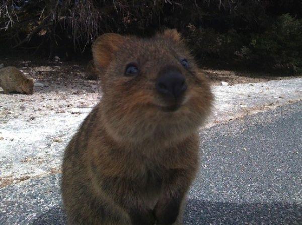 Marsupial Quokka Meet the Quokka - Neat...