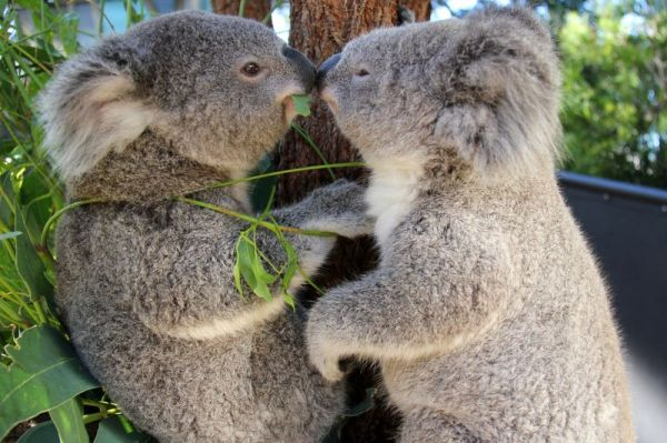 kissing baby koalas neatorama. Black Bedroom Furniture Sets. Home Design Ideas