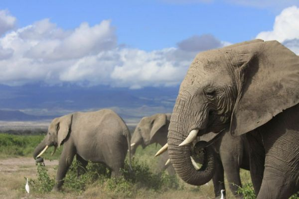 animal studies african elephants