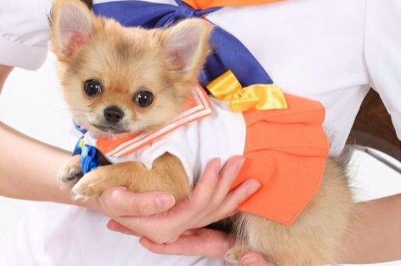 Must see Pomeranian Anime Adorable Dog - 1394655225-0  Graphic_293536  .jpg