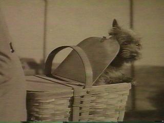 Toto The Wizard Of Oz Dog 1932 1945 Neatorama