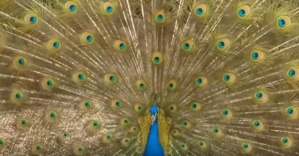 The Dazzling Physics of Peacock Feathers