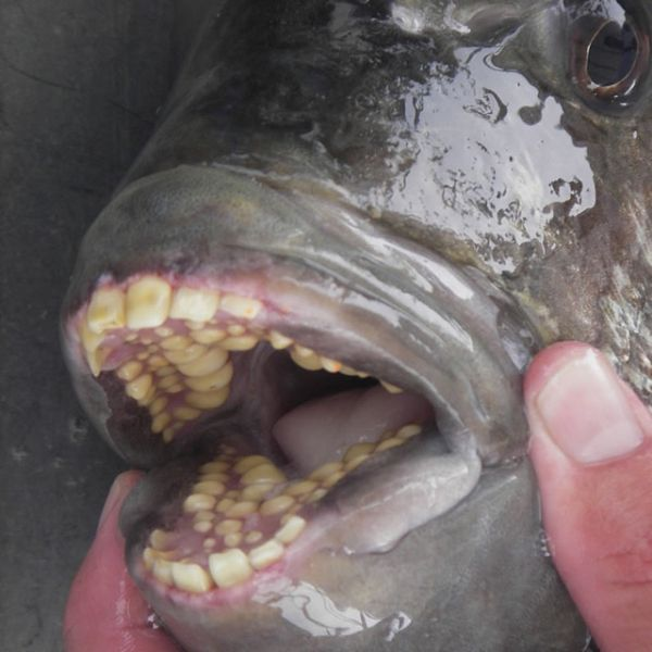 the sheepshead fish is a dental nightmare   neatorama