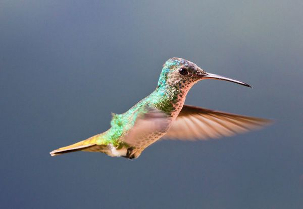 ¡Colibríes que invierten en Pennsylvania! | backyardsfornature.org