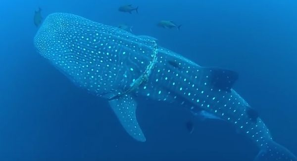 Diver Frees Whale Shark from Rope
