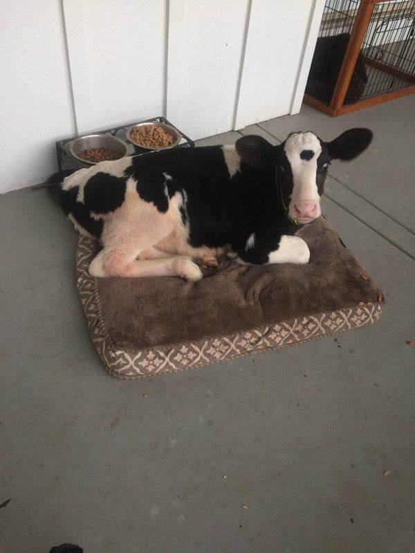 Goliath The Calf Thinks He S A Great Dane Like His Buddy