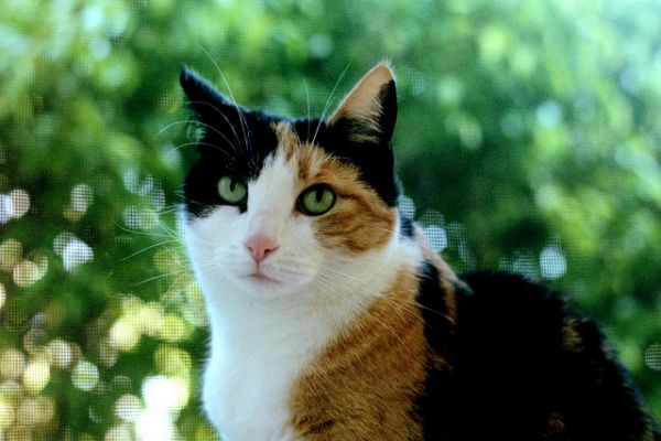 Can Calico Cat Be Male