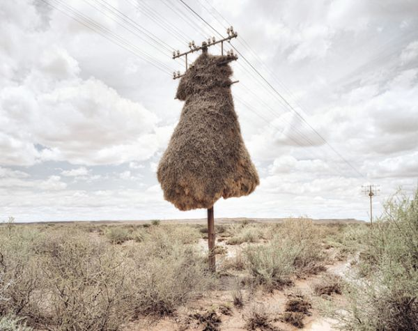 sociable weaver birds