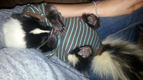 A Baby Skunk In Pajamas Cuddling With A Toy Sloth Neatorama