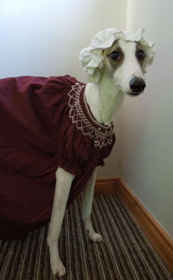 Well-dressed Whippet - Neatorama