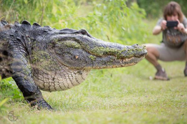 Giant Alligator Casually Crosses Paths With Tourists In Florida
