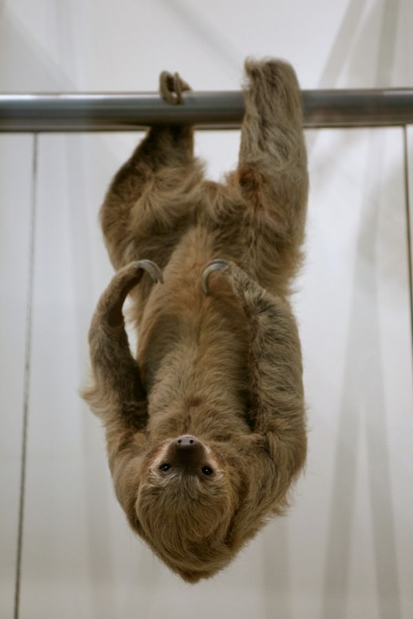 Sloth Hanging Upside Down How Sloths Breathe Upside Down