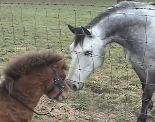 Everyone Who Meets Pippin The Miniature Stallion Falls In Love With Him