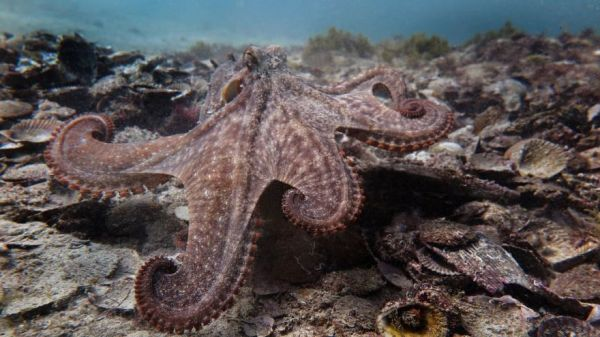 A Newly Discovered Underwater City Engineered By Octopuses