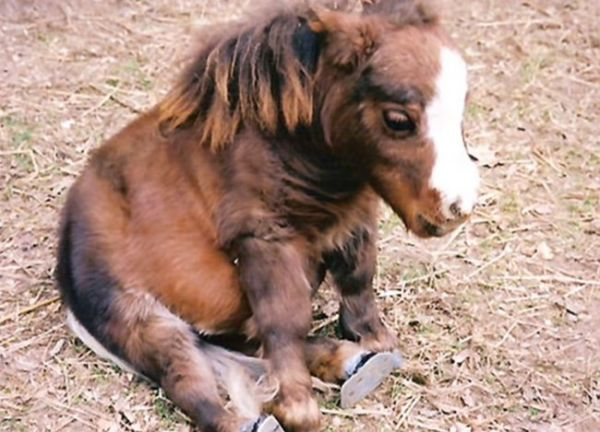 this adorable creature is thumbelina previously the guinness book of world records title holder for the smallest horse in the world