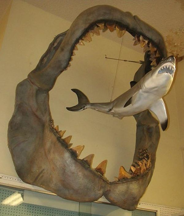Megalodon Shark Compared To T Rex