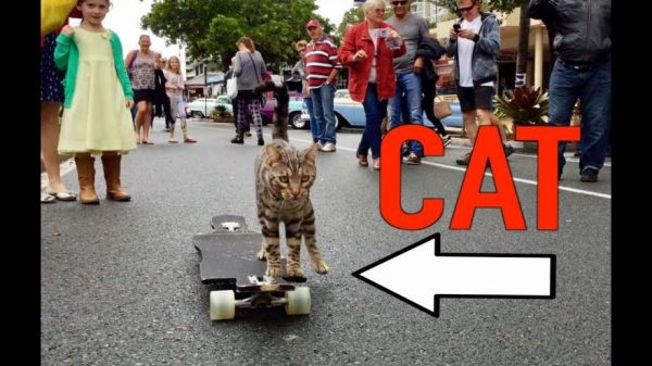 Boomer The Skateboarding Cat Doesn't Mind A Crowd