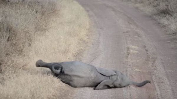 Baby Elephant Throws Tantrum In Middle Of Road, Parents Know Just What To Do