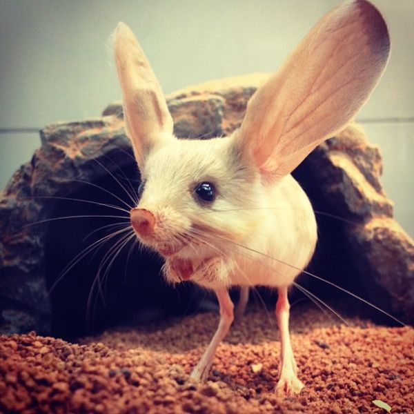 These Jerboas Look Lik...
