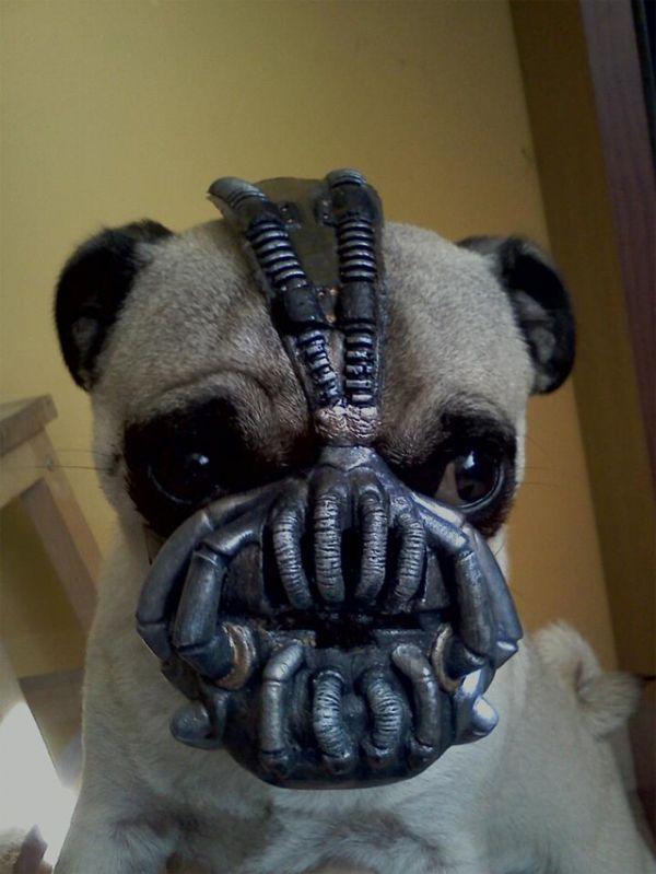 A Pug Named Bane Neatorama