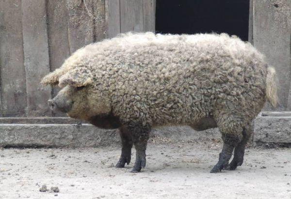 Mangalitsa, The Pig That Resembles a Sheep | Amusing Planet