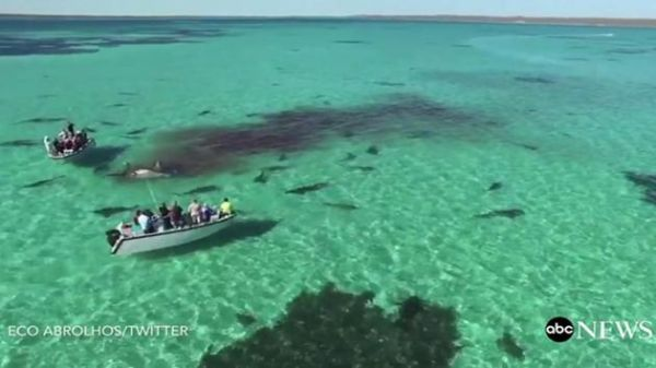 Drone Footage Of Sharks Going Full Feeding Frenzy On Whale In Australia