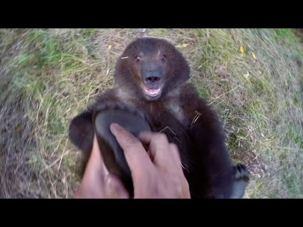 Orphaned Grizzly Bear Cub Likes To Have Her Feet Tickled
