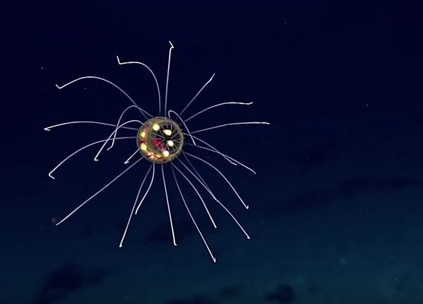 What Does This Creature Remind You Of A Space Alien Virus Cartoon Its Real Jellyfish Recorded By An ROV From The Ship Okeanos Explorer On