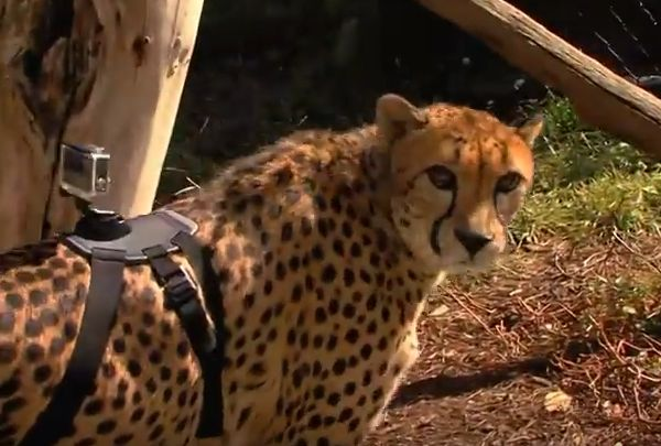 Cheetah with a GoPro
