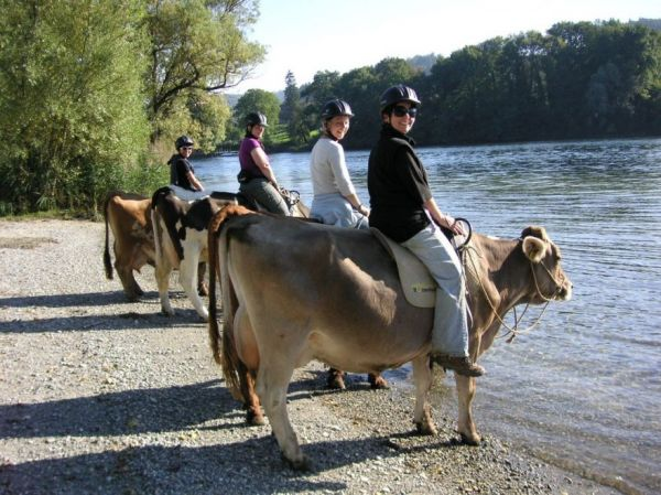 Ride A Cow Through The Swiss Alps Neatorama