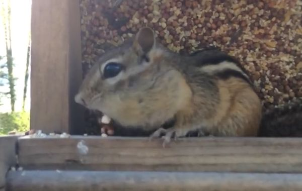 Chipmunk Caught Red-Handed