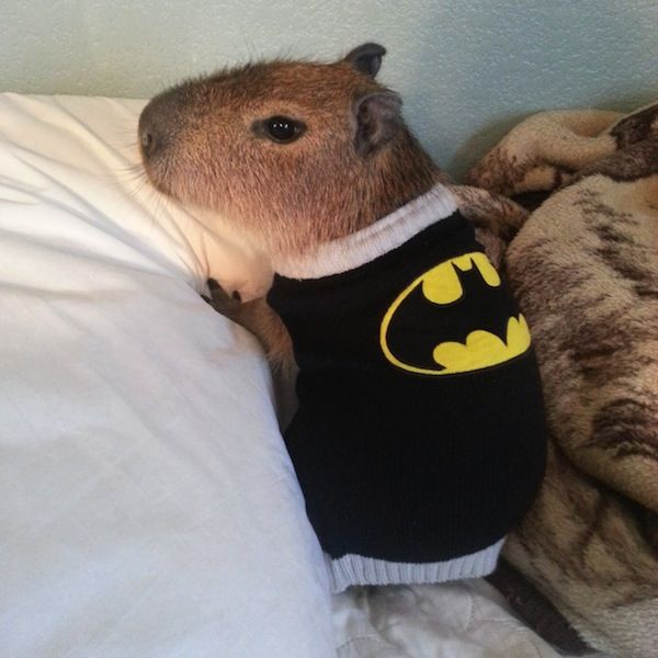 Baby Capybara Pet