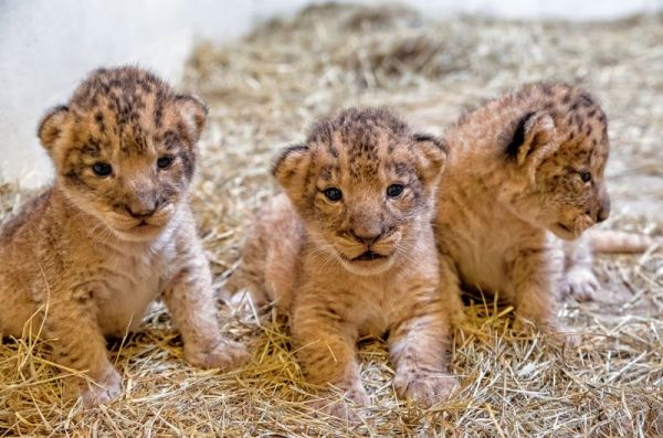 African Lion Litter Delights Indianapolis Zoo Neatorama