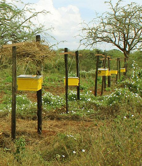 This Fence Made Of Bees Keeps Out Elephants Neatorama