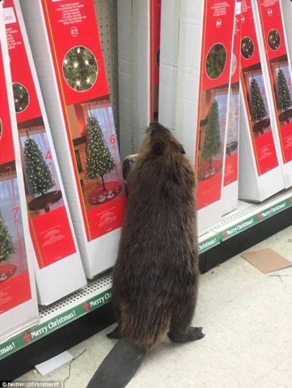 This Beaver Went Christmas Shopping at the 99 Cent Store