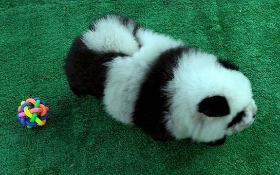 For Sale Dogs That Look Like Pandas Neatorama
