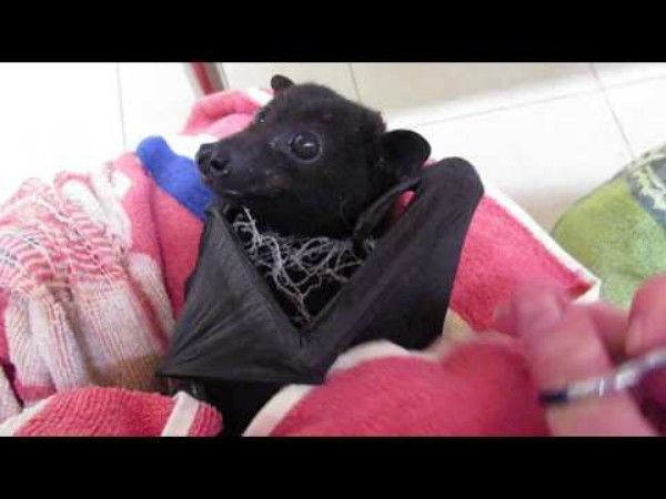 Gentle Bat Waits Patiently While Human Snips Off Netting That Entangled Him