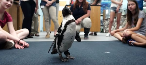 An Orthotic Boot for Purps the Penguin