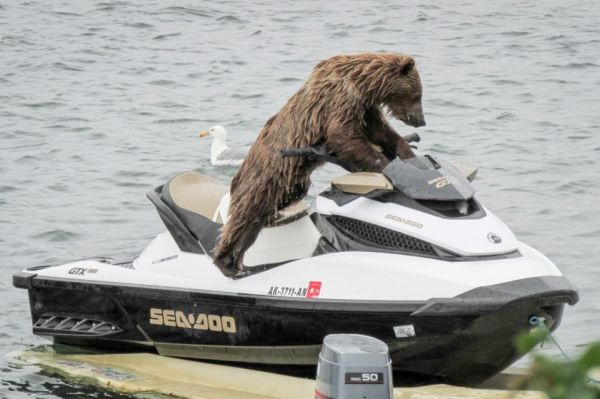 Meanwhile in alaska a bear riding a sea doo neatorama for Cats go fishing