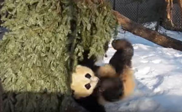giant-panda-cubs-falling-down