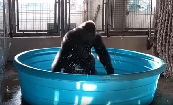 Splashdancing Gorilla