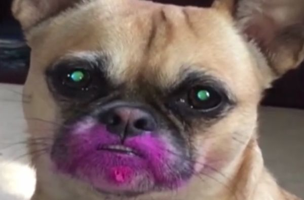 Chloe The Dog Eats Lipstick