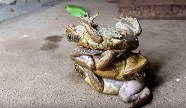 Toad Stacking Neatorama