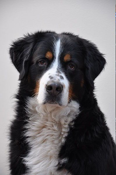Bernese Mountain Dog Blue Eyes For Sale