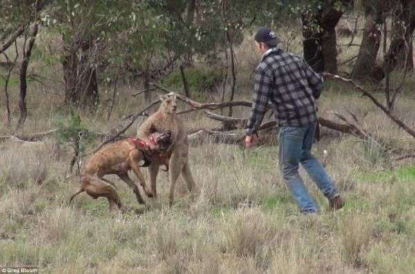 Man Punches Kangaroo To Save Dog, Controversy Ensues