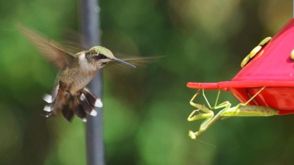 Praying Mantises Are Preying On Birds, And Zoologists Want To Know Why