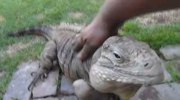 Buddy The Iguana Thinks He's A Dog