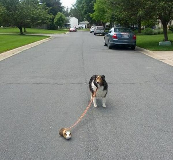 Guinea pig walking the dog neatorama wait your guinea pig wont walk the dog the guinea pig is the star of a twitter account called where is my guinea pig that features pictures of the pig publicscrutiny Gallery