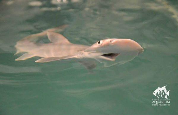 baby-shark