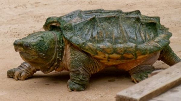 Interesting Facts About Alligator Snapping Turtles